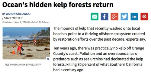 "The mounds of kelp that recently washed onto local beaches point to a thriving offshore ecosystem created by restoration efforts over the past decade, experts say. Ten years ago, there was practically no kelp off Orange County's coast. Pollution and an overabundance of predators such as sea urchins had decimated the kelp forests, killing 80 percent of what Southern California had a century ago. But over the past decade, environmentalists and others planted nearly 5 acres of kelp along coastal Southern California. They planted lab-grown kelp, transplanted healthy kelp from existing beds, released kelp spores and removed kelp predators, namely sea urchins, which can take over and obliterate a kelp forest if left unchecked. Those efforts seem to have paid off: The kelp is back. ""This is just a sign of how healthy our kelp forest has become. Just 10 years ago, there was almost no kelp on the Orange County coast,"" said Ray Hiemstra."